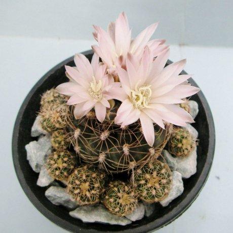 Sany0156--bruchii ssp cumbrecitense--Piltz seed 3585--ex Milena