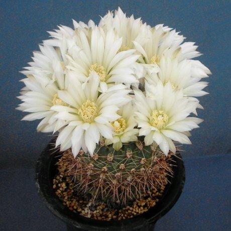 Sany0184--schatzlianum--Mesa seed 486.4