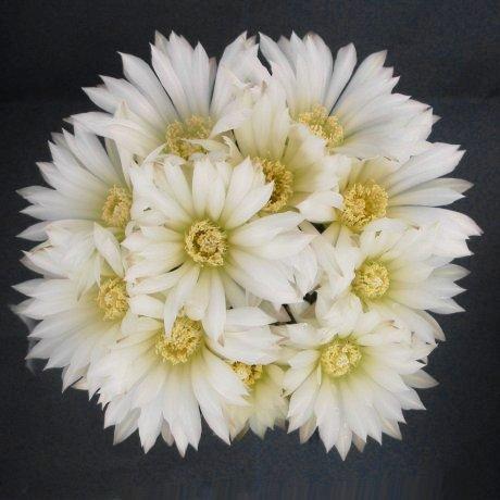 Sany0182--schatzlianum--mesa seed 486.4