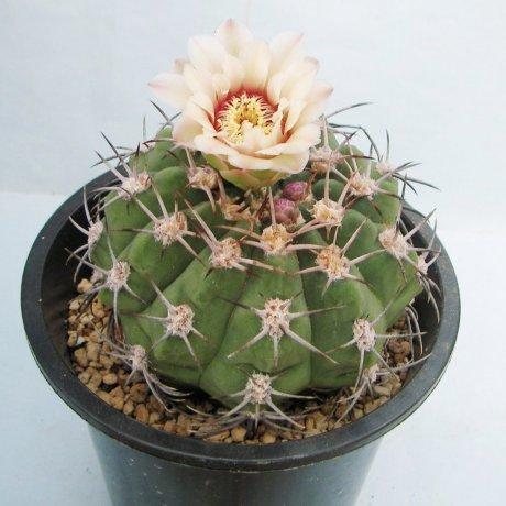 Sany0049--nigriareolatum v simoi--P 39--Sierra Graciana Catamarca--Piltz seed