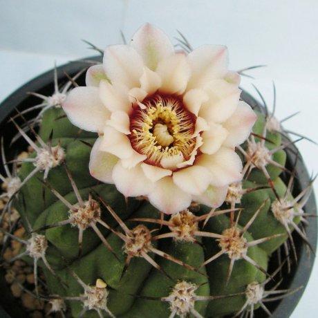 Sany0051--nigriareolatum v simi--P 39--Piltz seed