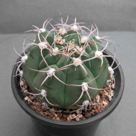 Sany0076--nigriareolatum v simoi--La Merced Catamaeca--Bercht seed