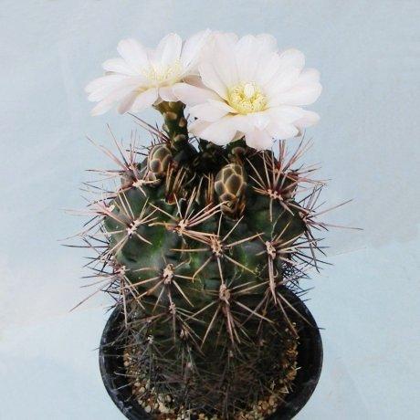 Sany0210--gibbosum v ferox--Mesa seed 466.45--ex Tutiya