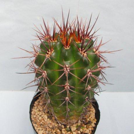 Sany0122--horridispinum--Lau 517--La Mudana, Cordoba, Arg. 2300m--Piltz seed 3474