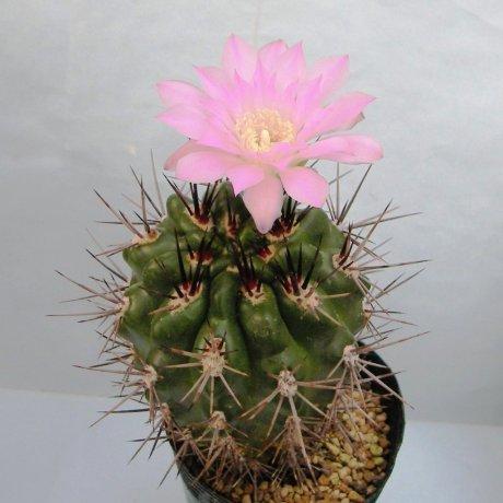 Sany0038--horridispinum--mesa seed 468.7