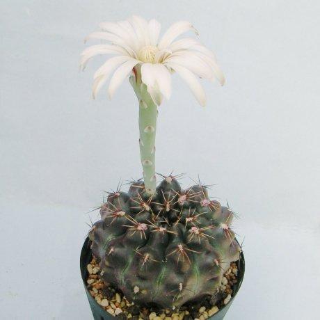 Sany0059--erolesii--LB 2308--south of Vera Santa Fe--Bercht seed