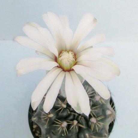 Sany0060--erolesii--LB 2308--Bercht seed