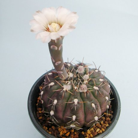 Sany0186--kieslingii v castaneum--P 220--Mesa seed 469.4--Kousen en