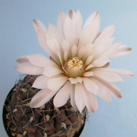 Sany0206--kieslingii v castaneum--VS 57--Mesa seed 469.44