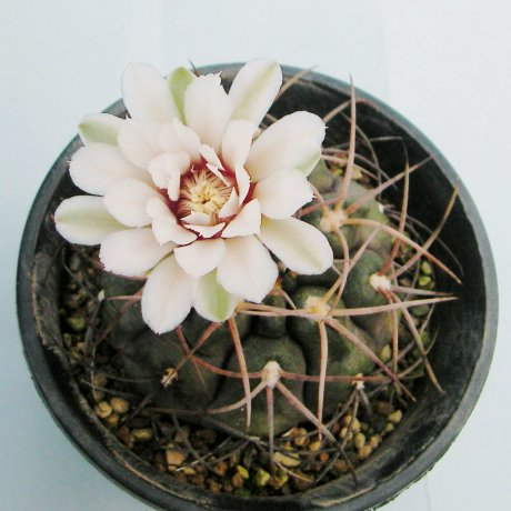 Sany0029--catamarcense ssp schmidianum--P 218--