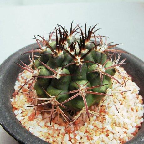Sany0137-schickendantzi ssp pectinatumi--P 17A