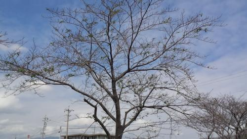 2013-9桜2