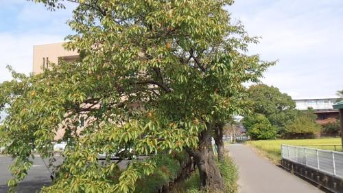 2013-9桜3