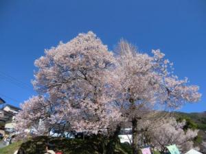高遠城址桜1