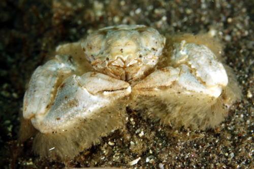ムラカミカニダマシ属の一種