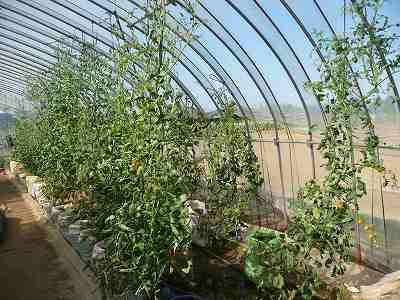肥料袋栽培のミニトマト 7月中旬