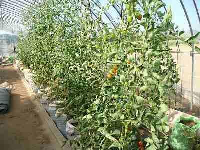 肥料袋栽培のミニトマト・ズーム 7月中旬