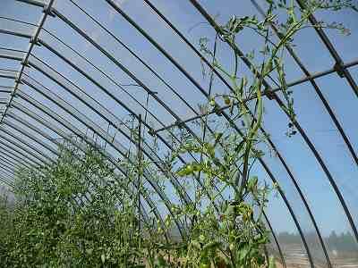 肥料袋栽培のミニトマト・ズーム(天井付近) 7月中旬