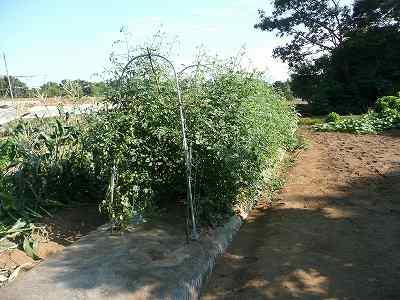 ソバージュ栽培のミニトマト 7月中旬