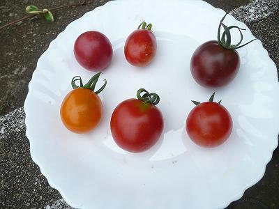 2013年のカラフルミニトマト