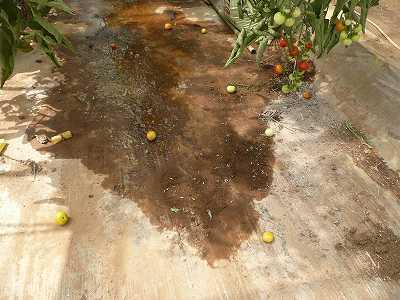 下に落ちてしまったミニトマト