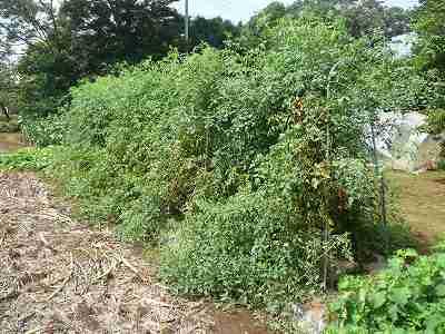 とても順調なソバージュ栽培ミニトマト