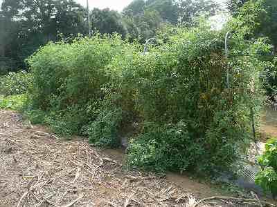 ソバージュ栽培のミニトマト・東側