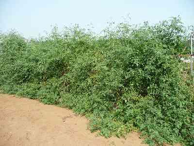 ソバージュ栽培のミニトマト・西側