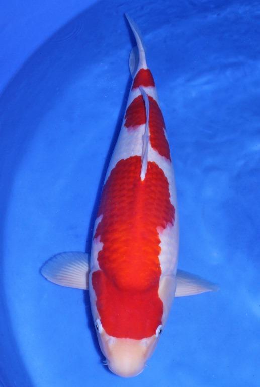 60部 紅白 魚酔