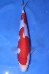 30部 紅白 魚酔 (2)