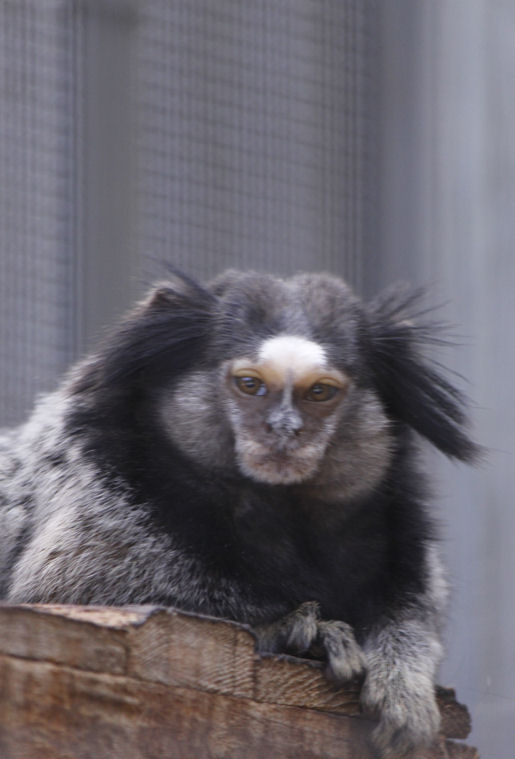 '13.7.7 black-eared marmoset 0868