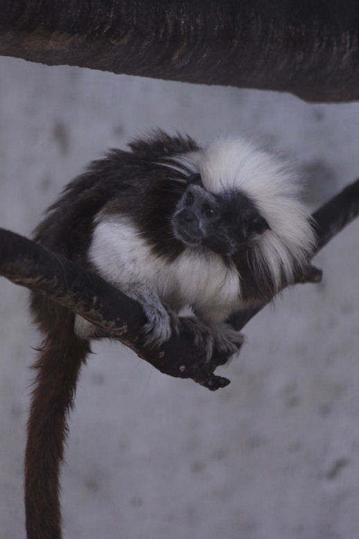 '13.7.7 cotton-head tamarin 0860