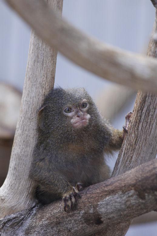 '13.7.7 pygmy marmoset 0865