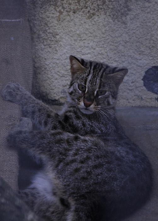 '13.8.10 leopard cat 5688