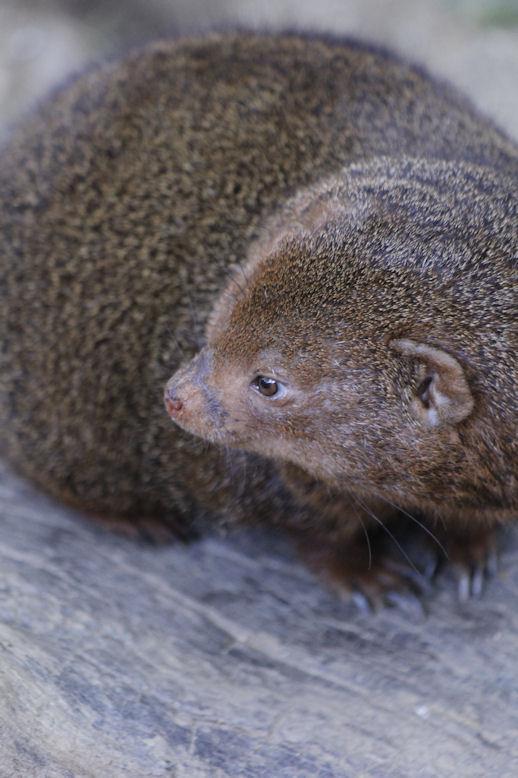'13.9.21 dwarf mongoose 7821