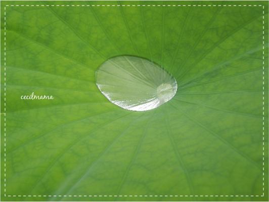 蓮の葉_1