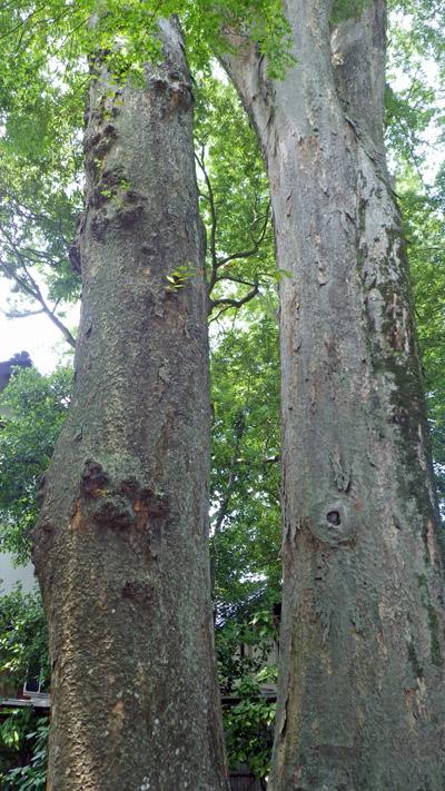 田村酒造の樹齢700年以上のケヤキ