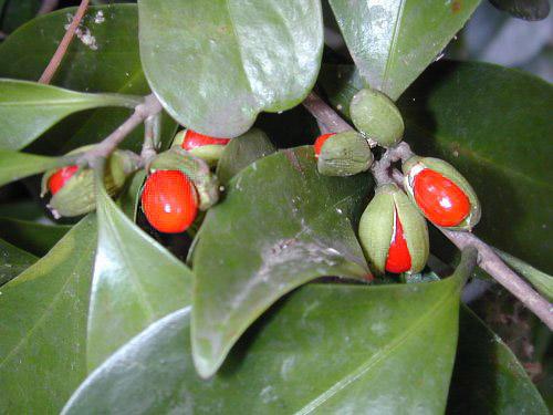モクレイシの赤い実