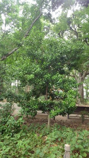 モクレイシ ゴーヤの木