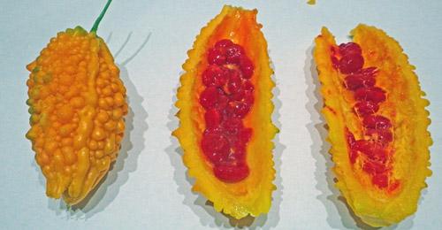 黄色くなったゴーヤの赤い実