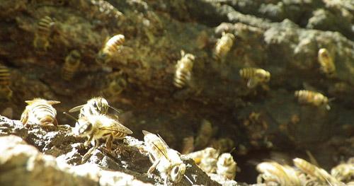 日本ミツバチ群