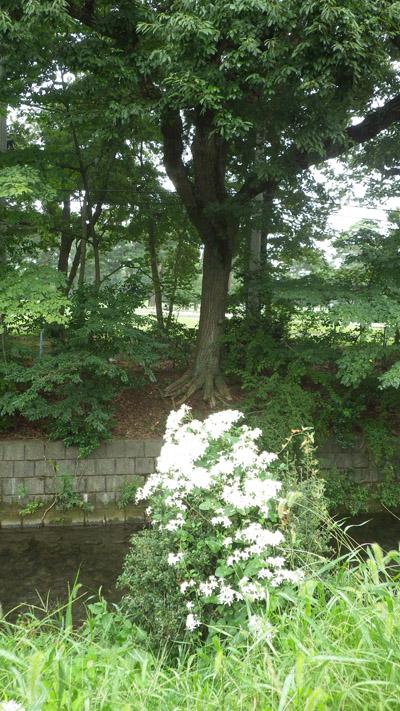 センニンソウ(仙人草) Clematis terniflora