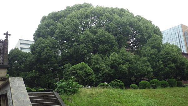 東大の巨木 大クスノキ