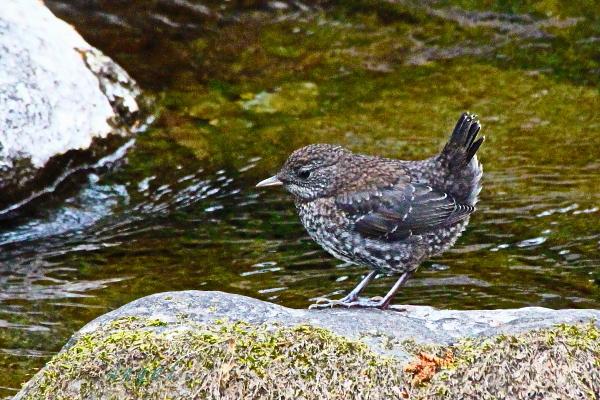 カワガラス幼鳥(201305037240)①