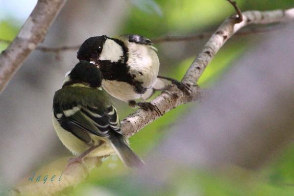 シジュウカラ幼鳥(201305192637)