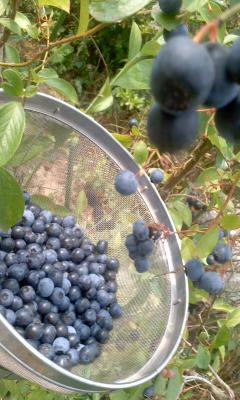 ブルーべり^-収穫