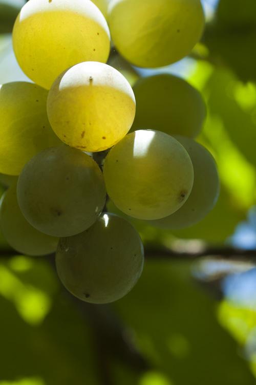grape13_9_9_1.jpg