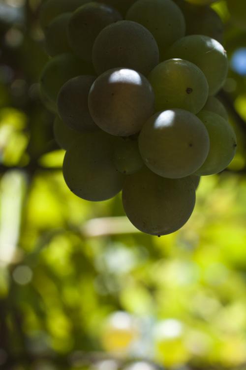 grape13_9_9_4.jpg