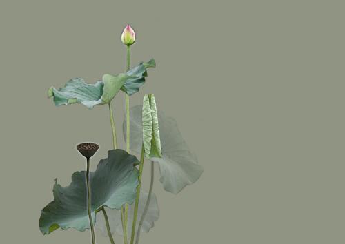 lotus_l.jpg
