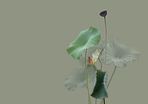 lotus_r.jpg